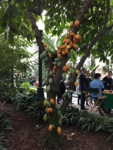 Kate Dolan writes about Cacao trees at the U.S. Botanical Garden
